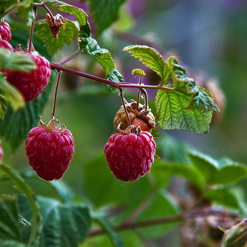 caring for raspberries and strawberries in winter