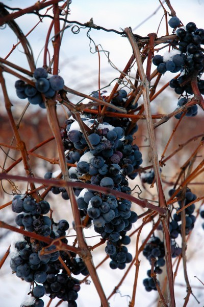 how to prepare grape vines for winter