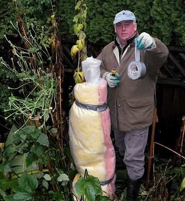 how to wrap a hardy banana tree in winter